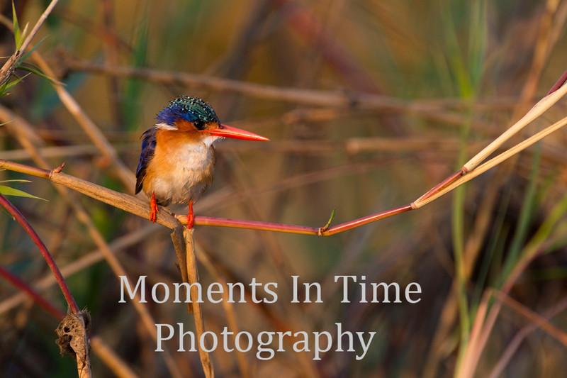 Malachite Kingfisher (Alcedo cristata)