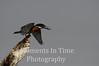 Giant Kingfisher (Megaceryle maxima)