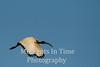 Sacred Ibis (Threskiornis aethiopicus)