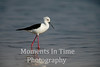 Black winged stilt (Himantopus himantopus)