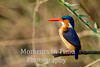 Malachite Kingfisher (Alcedo cristata)s)