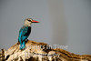 Brownhooded kingfisher (Halcyon albiventris)
