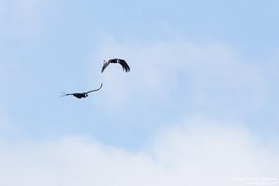Andean Condor - Argentina