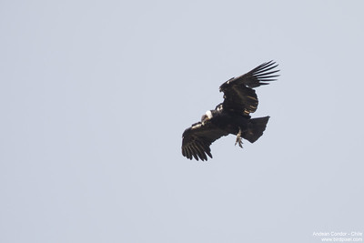 Andean Condor - Chile