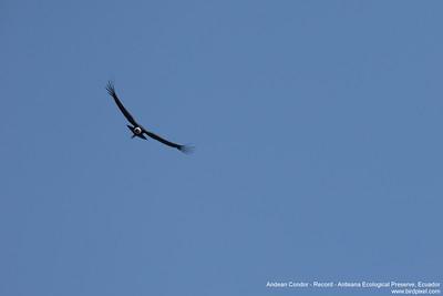 Andean Condor - Record - Antisana Ecological Preserve, Ecuador