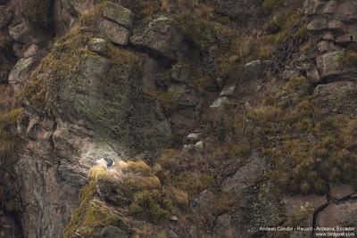 Andean Condor - Record - Antisana, Ecuador