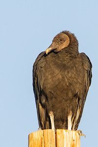 Black Vulture - Patagonia, AZ, USA