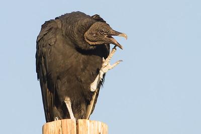 Black Vulture - Patagonia Lake State Park, Patagonia, AZ, USA