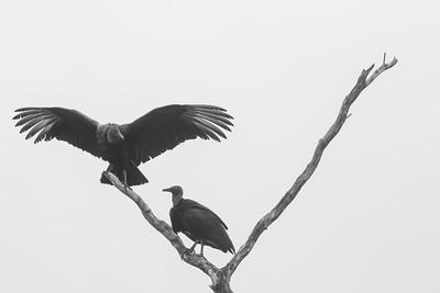 Black Vulture - Crooked Tree, Belize