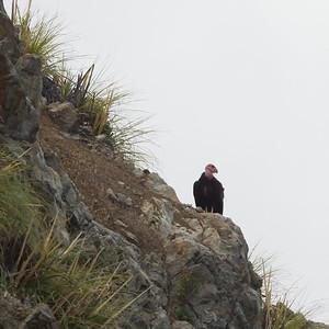 California Condor - Critically Endangered - Big Sur, CA, USA