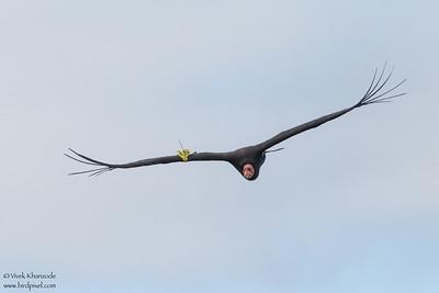 California Condor - Big Sur, CA, USA