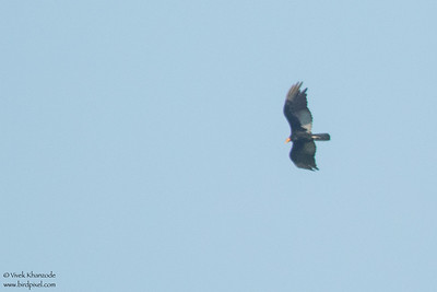 Greater Yellow-headed Vulture - Record - Amazon, Ecuador