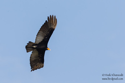 Greater Yellow-headed Vulture - Oxbow lake near Tambo Blanquillo Lodge, Peru