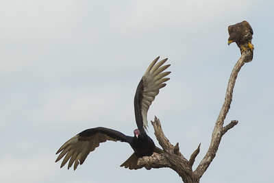 Turkey Vulture & Harris' Hawk interaction - Martin Refuge, Mission, TX, USA