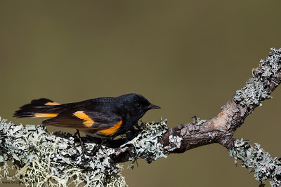 American Redstart - Male - Upper Peninsula, MI, USA