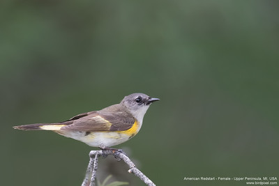 American Redstart - Female - Upper Peninsula, MI, USA