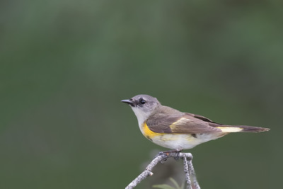 American Redstart - Female - Grayling, MI, USA