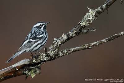 Black-and-white Warbler - Upper Peninsula, MI, USA