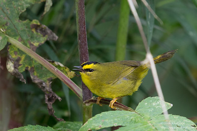 Black-crested Warbler - Record - San Isidro Lodge, Ecuador