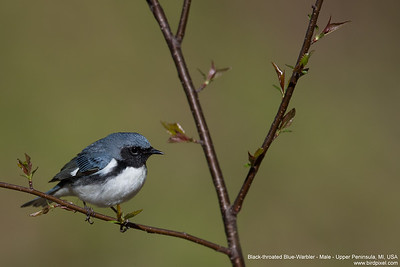 Black-throated Blue-Warbler - Male - Upper Peninsula, MI, USA