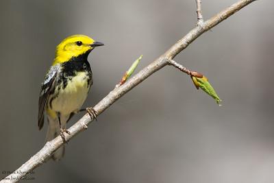 Black-throated Green Warbler - Male - Near Mio, MI, USA
