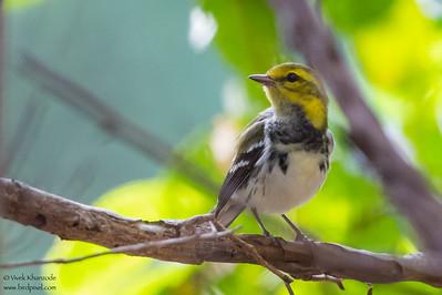 Black-throated Green Warbler - Record - Caye Caulker, Belize