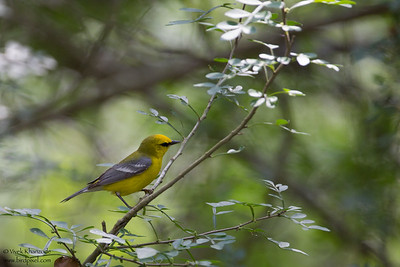 Blue-winged Warbler - Brownsville, TX, USA