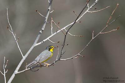 Canada Warbler - Upper Peninsula, MI, USA