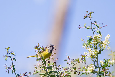 MacGillavray's Warbler - Sierra Valley, CA, USA