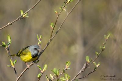 Mourning Warbler - Near Mio, MI, USA
