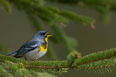 Northern Parula - Upper Peninsula, MI, USA