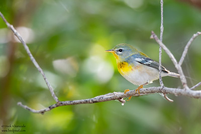 Northern Parula - Caye Caulker, Belize