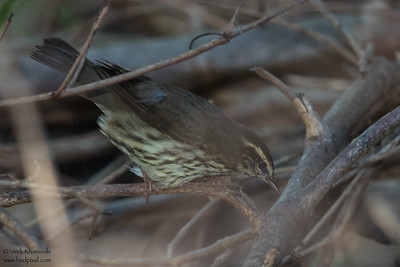 Northern Waterthrush - Record - Caye Caulker, Belize