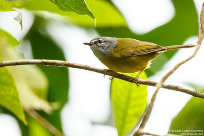 Santa Marta Warbler - El Dorado Lodge, Colombia