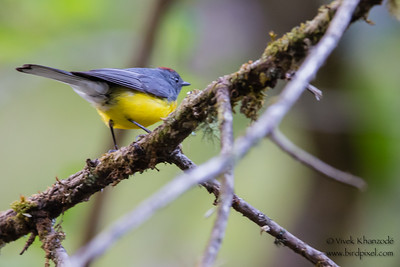 Slate-throated Redstart - Record - Inkaterra Resort, Aguas Calientes, Peru
