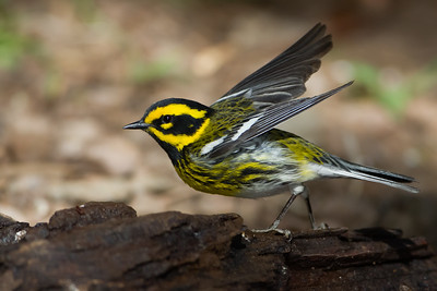 Townsend's Warbler - Carr Canyon, Nr. Sierra Vista, AZ, USA