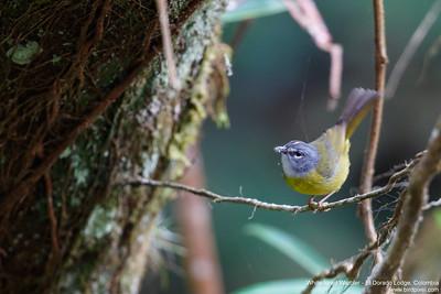 White-lored Warbler - El Dorado Lodge, Colombia