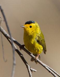 Wilson's Warbler - San Pedro House, Sierra Vista, AZ, USA