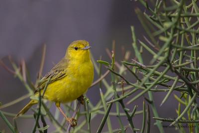 Yellow Warbler - Urvina Bay, Isla Isabela, Galapagos, Ecuador