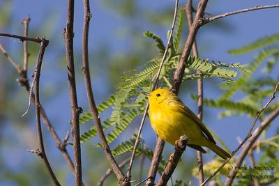 Yellow Warbler - Record - Patagonia Lake State Park, Patagonia, AZ, USA