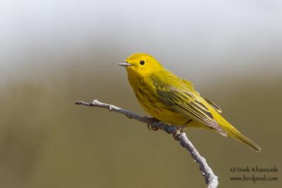 Yellow Warbler - Nome, AK, USA