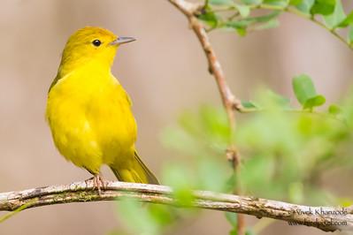 Yellow Warbler - Isla Floreana, Galapagos, Ecuador