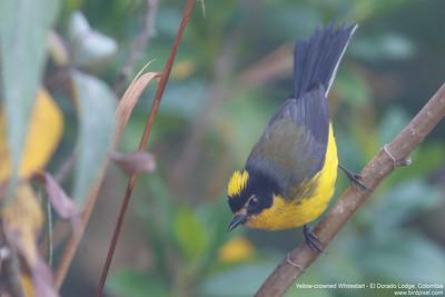 Yellow-crowned Whitestart - El Dorado Lodge, Colombia