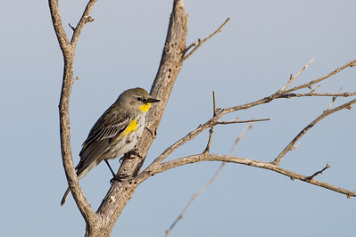 Yellow-rumped Warbler - SSSBNWR Headquarters, Salton Sea Area, CA, USA
