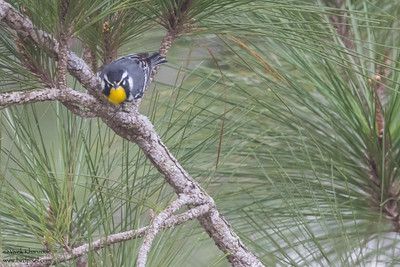 Yellow-throated Warbler - Crooked Tree, Belize