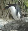 FiordlandCrestedPenguin (17)