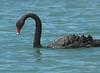 BlackSwan (3)