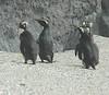 FiordlandCrestedPenguin (11)