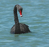 BlackSwan (2)