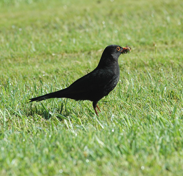 Blackbird01